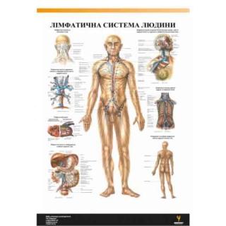 Плакат Лимфатическая система человека
