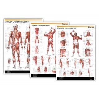 Плакат Мышечная система человека 3 части